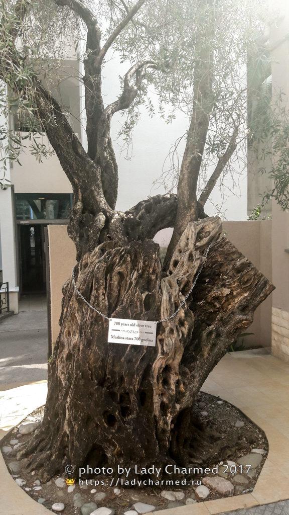 700-летнее оливковое дерево